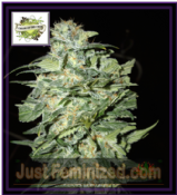 Cream of the Crop Auto Crop Circle Feminized Marijuana Seeds